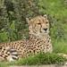 Cheetah 4-6233