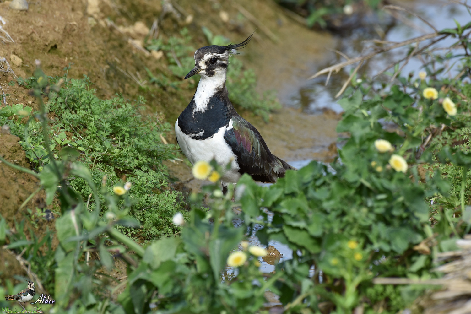 Northern_Lapwing_7849