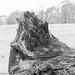 FALLEN TREE, HARDWICK PARK, DERBYSHIRE_DSC_7772_LR_2.5