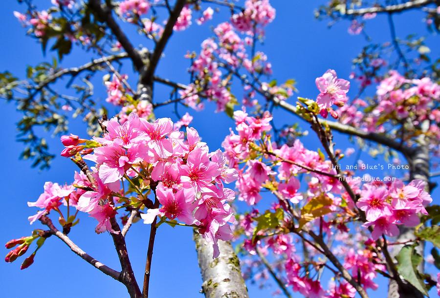 芬園花卉休憩園區-櫻花園區201809