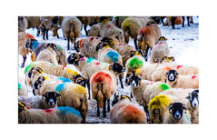 Technicolour Sheep