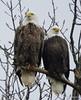 Bald Eagle_N6856 by Henryr10