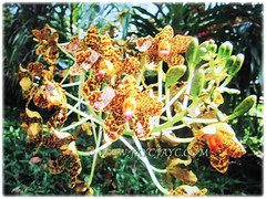 Beautiful flowers and buds of Grammatophyllum speciosum (Giant Orchid, Tiger Orchid, Sugar Cane Orchid, Queen of the Orchids), Feb 27 2018