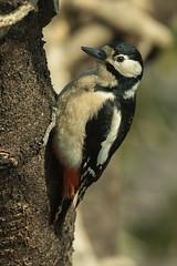 Great Spotted Woodpecker fem - Montevecchia - Italy FJ0A9571