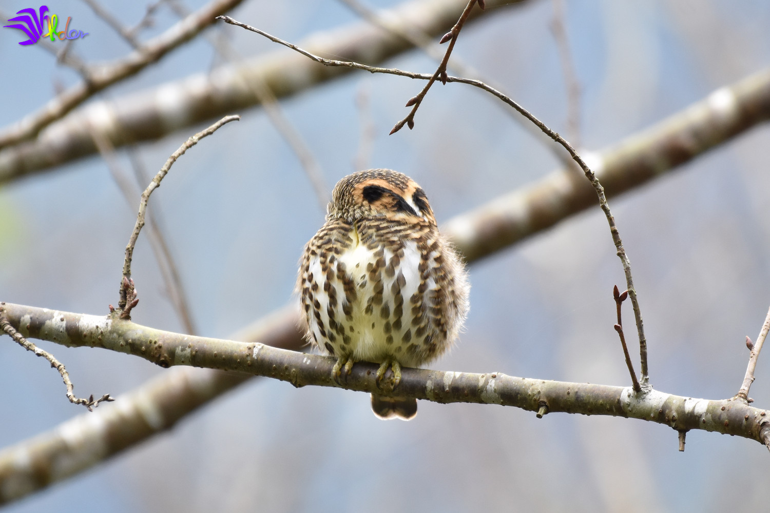 Collared_Owlet_5632