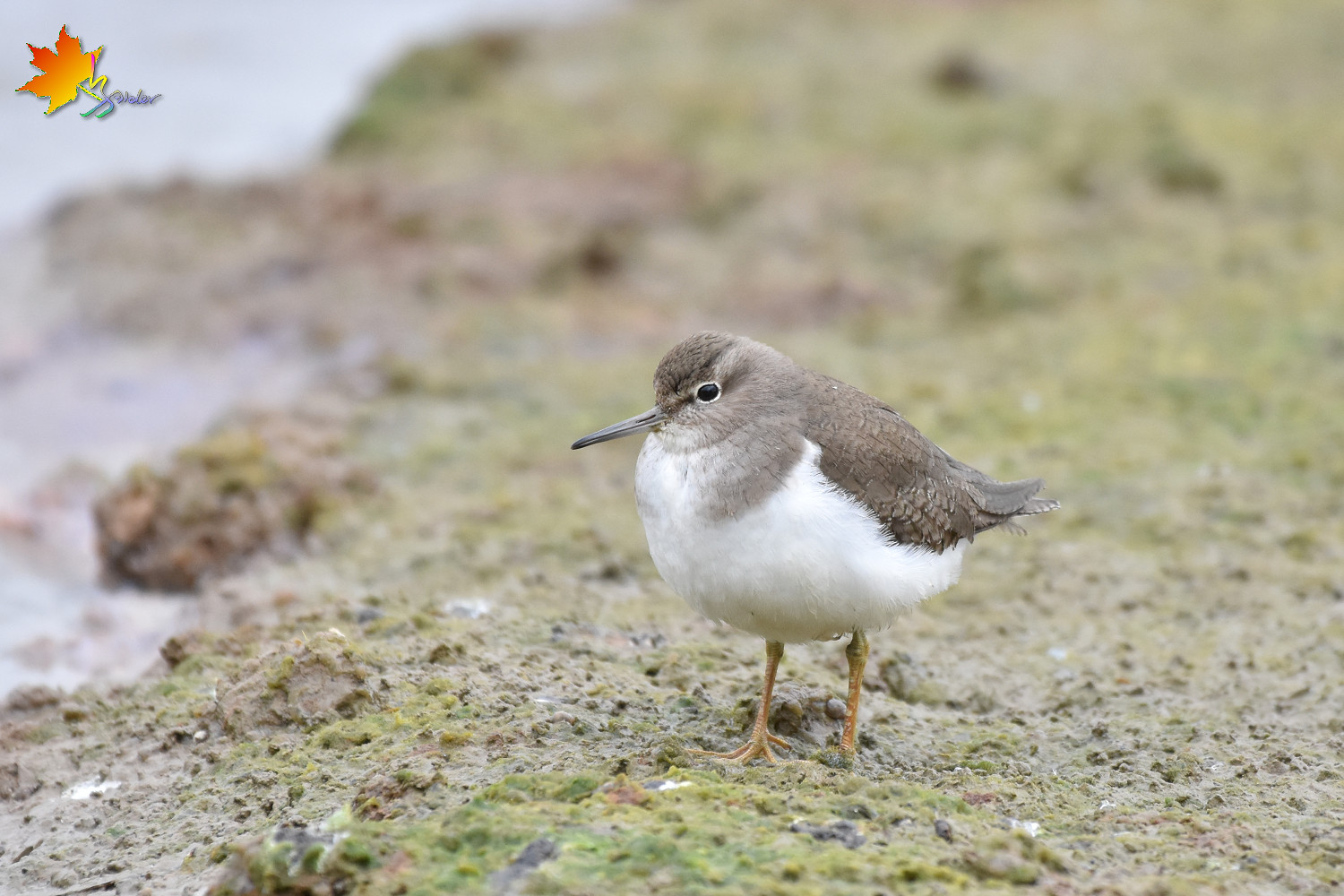 Common_Sandpiper_8796
