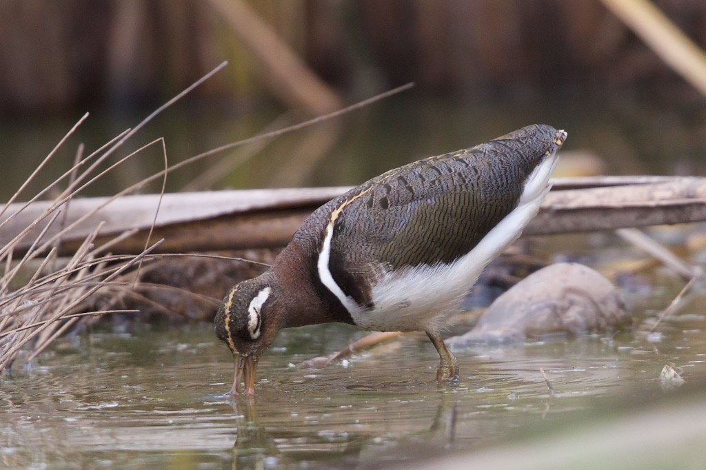 Greater Painted-snipe. Rostratula benghalensis