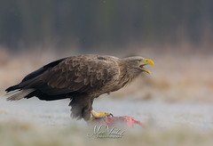 White-tailed eagle - Europese zeearend