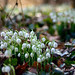 Snowdrops Thriving in General Clutter
