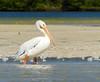 Pelícano Blanco Americano, American White Pelican (Pelecanus erythrorhynchos) by Francisco Piedrahita