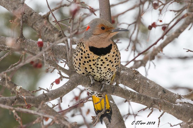 IMG_8491 yellow shafted flicker
