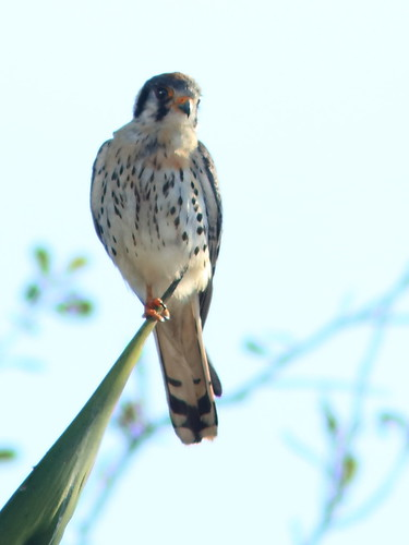 American Kestrel male on Royal Palm 03-20180205