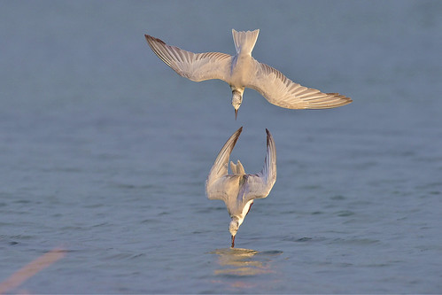 Whiskered Tern, 黑腹燕鷗