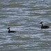 Slavonian grebes record