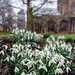 Cathedral Snowdrops