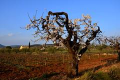 Temps de flors d'ametller, el Terme, Torrelles de Foix.