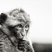 Barbary Macaque by chmeermann   www.chm-photography.com