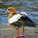 Egyptian goose, holding wings slightly raised