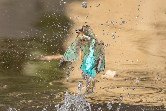 20180127-kingfisher-DSC_6124