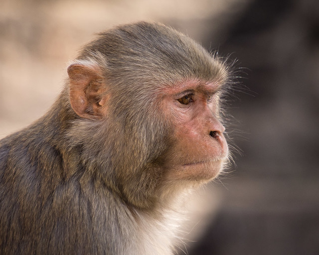 monkey looking thoughtful
