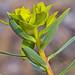 Euphorbia nicaeensis All / Euphorbiaceae.