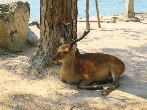 IMG_6522  Deer @ Miyajima Japan