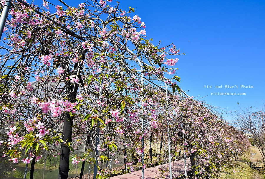 芬園花卉休憩園區-櫻花園區201804