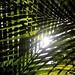 Crisscross Nikau #bushrun #pukemokemoke #trailrunning #hauora #nativetrees