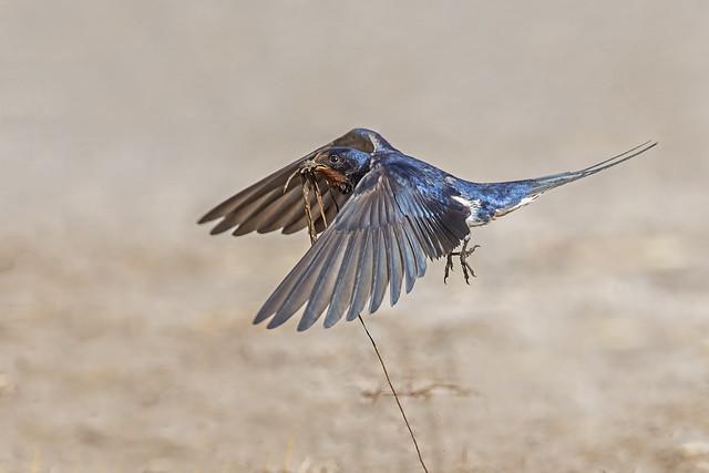Swallow (Hirundo rusticus)