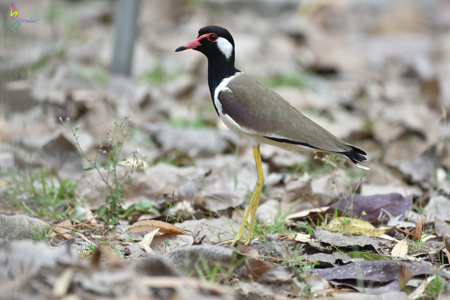 Red-wattled_Lapwing_3603