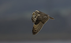 Short-eared owl - More sense than human's