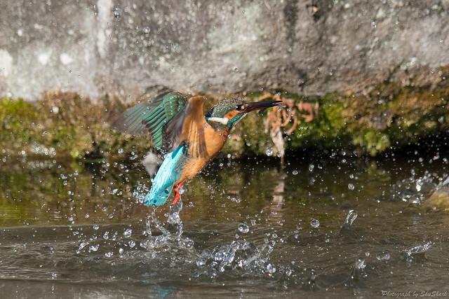 20180211-kingfisher-DSC_8204