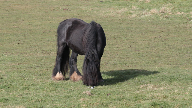 Shaggy black pony and its wagtail friend