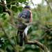 Eurasian Sparrowhawk---- Accipiter nisus