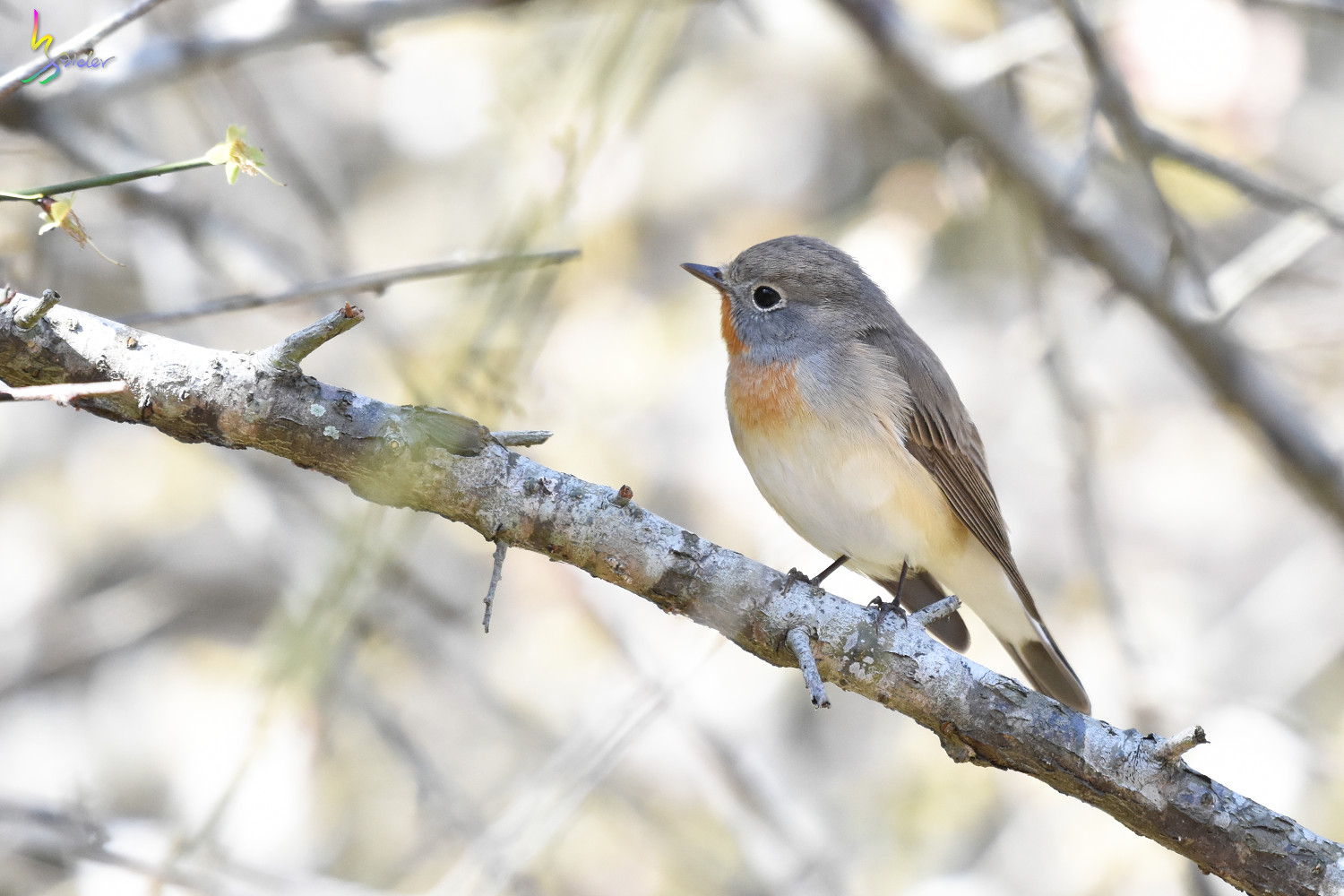 Red-breasted_Flycatcher_6375
