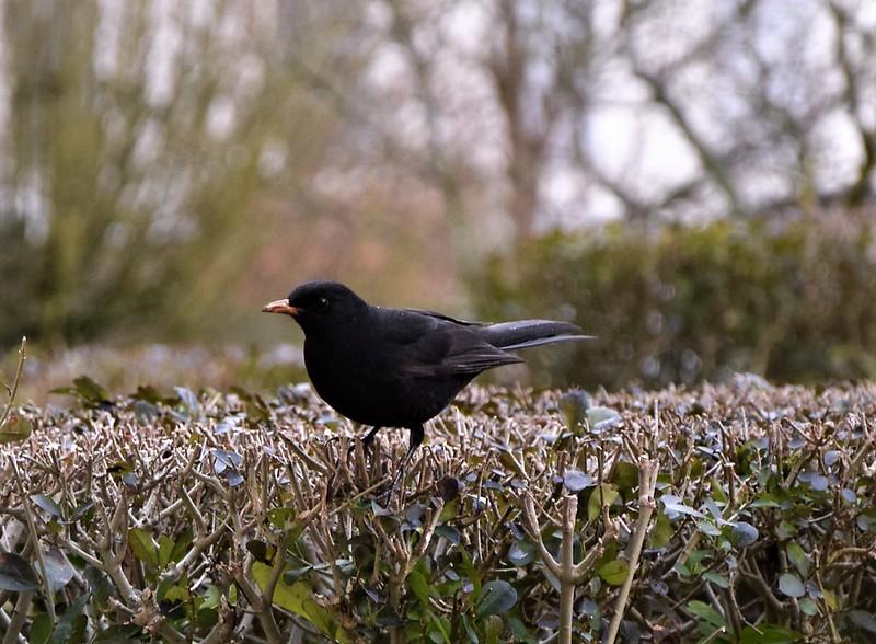 Blackbird 21.01 (6)