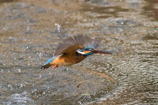 20180203-kingfisher-DSC_7077