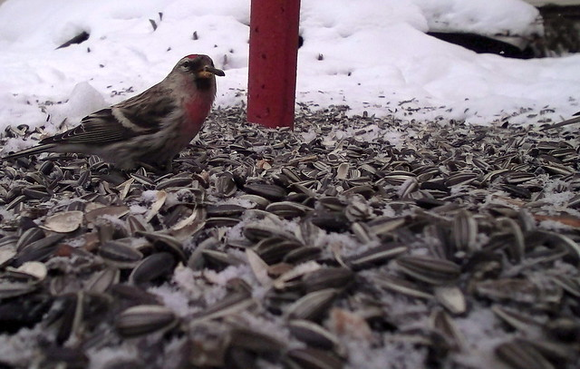 urvalind - The common redpoll (Acanthis flammea)