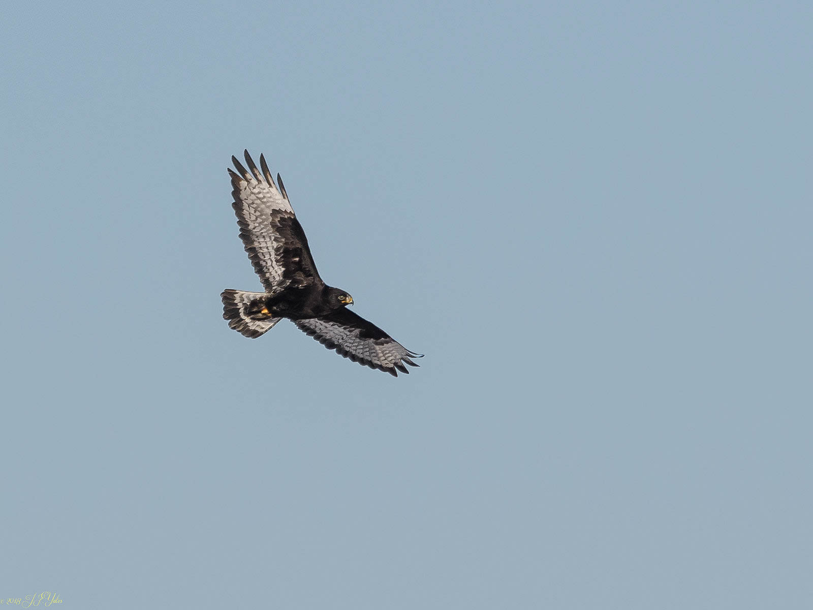 Rough-legged Hawk Dark phase