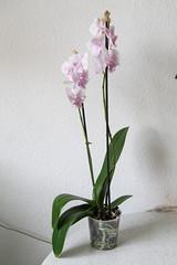 Phalaenopsis 'Big Lip Perloric'