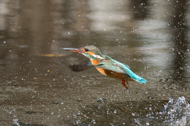 20180203-kingfisher-DSC_6962