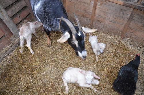 goat babies Feb 18 (9)