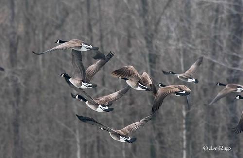 Goose, Canada 3 (EB)