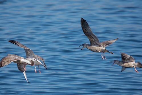 土, 2018-01-06 13:17 - オオセグロカモメ ー 銚子漁港