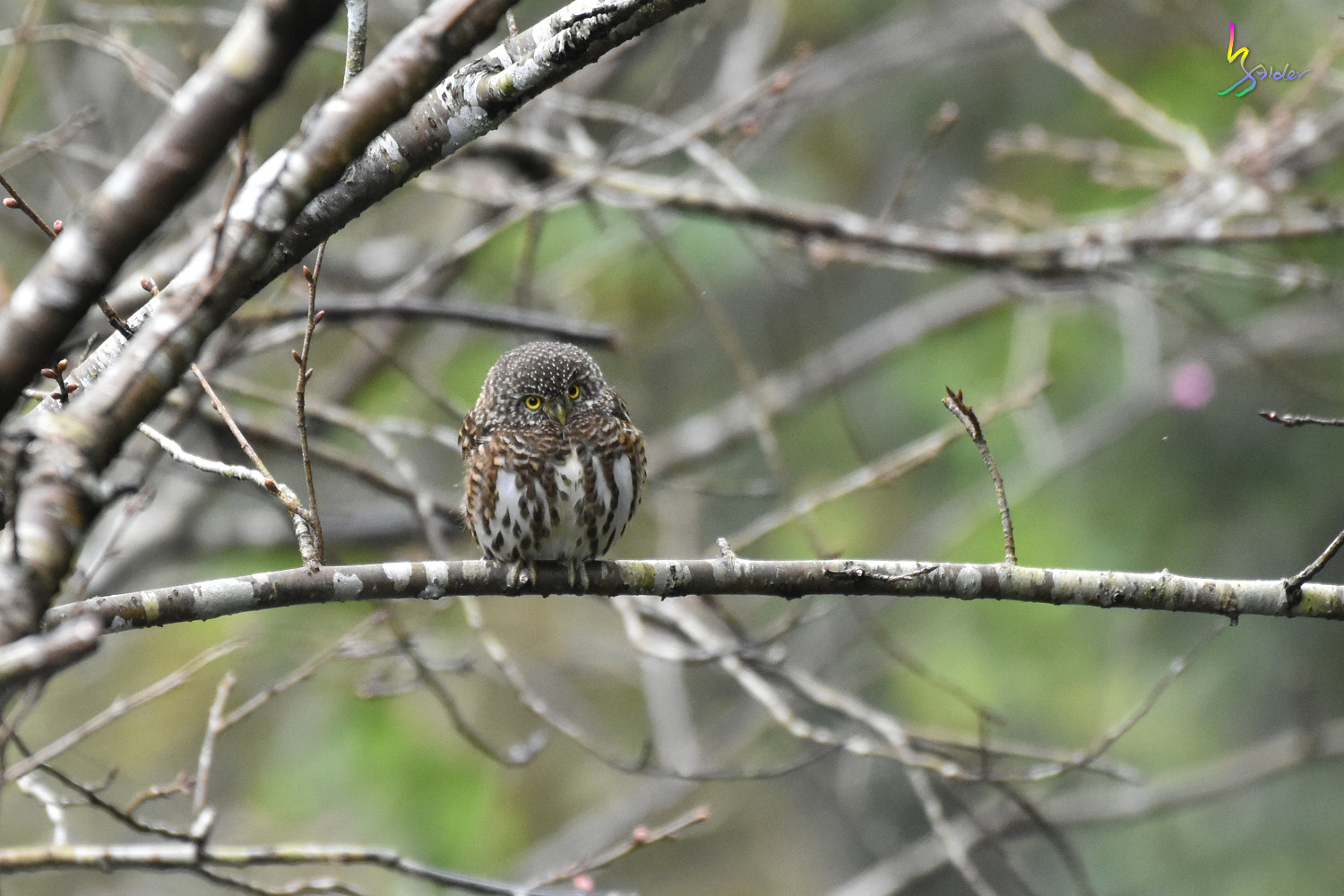 Collared_Owlet_7313