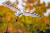 Great egret (Ardea alba) in flight at sunrise at Venice Rookery, Venice, Florida by diana_robinson