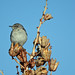 Northern Mockingbird on Agave