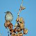 Northern Mockingbird on Agave