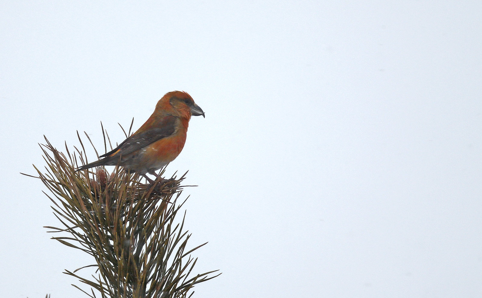 Common Crossbill - very challenging conditions!