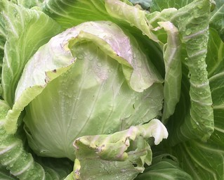 福山農場 高麗菜 (2)